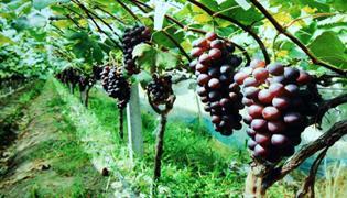 葡萄病虫害怎样防治