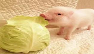 猪人工授精的技术要点是什么