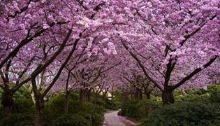 樱花树苗的种植技术