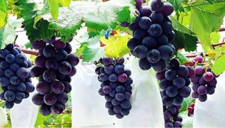 葡萄的种植方法