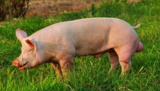 猪身上有红点治疗方法