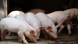 怎么养猪的方法