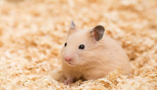 仓鼠用打疫苗吗