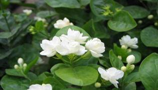栀子花种子的养殖方法和注意事项