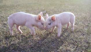 小猪体温多少正常
