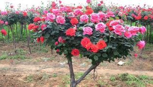 树桩月季花的养殖方法