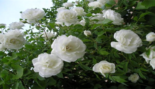 白色月季花花语是什么