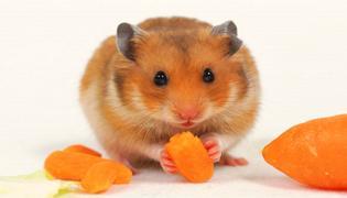 仓鼠为什么吃自己的孩子