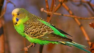 鹦鹉孵蛋多久出小鸟