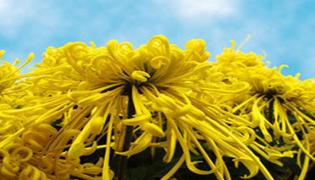 冰菊是什么菊花
