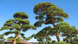 松树为什么四季常青