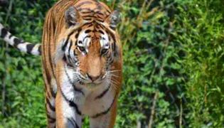 老虎到底会爬树吗