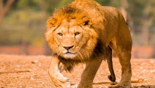 罗恩有没有杀死狮子