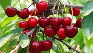一颗车厘子树产能多少斤