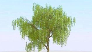 杨柳树和柳树的区别