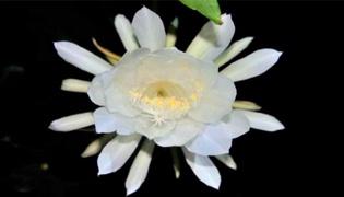 晚上开花的是什么花