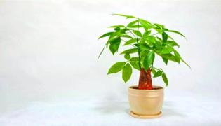 适合室内生长的树木