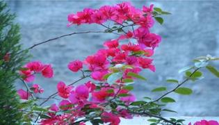 三角梅的花芽怎么判断