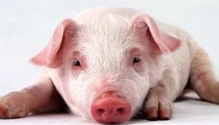猪得了非洲猪瘟应该怎么办