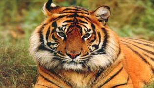 老虎为什么怕狮子