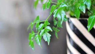 幸福树掉枝掉叶怎么处理