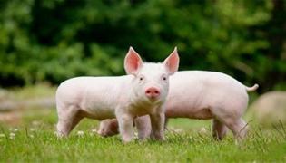 让断奶的小猪不拉稀有什么妙招