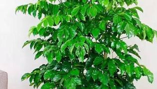 绿宝树掉叶子的原因以及解决方法