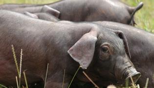 得了非洲猪瘟能否存活受什么影响