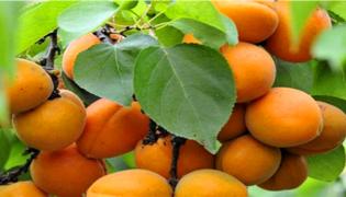 杏核能种出杏树吗