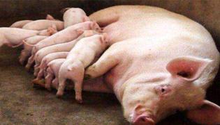 母猪难产处理方法