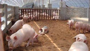 农村养猪怎么养