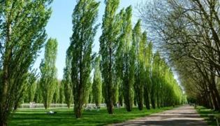 杨树淌水怎么治