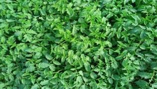 西红柿苗打枝方法有几种