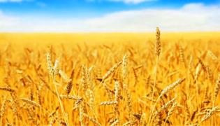 小麦在中国的历史