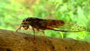 金蝉要怎么养殖