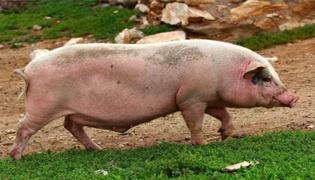 猪不吃食几天会死