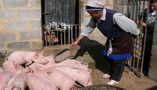 石灰水喂猪有好处吗