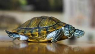 哪个生肖不适合养龟