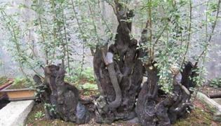 死树桩如何生根