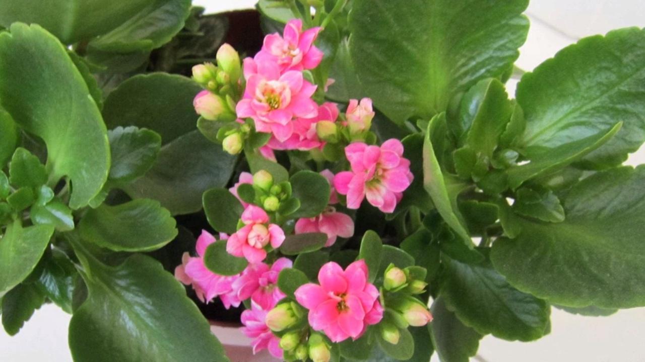 长寿花怎么养殖 长寿花怎么养