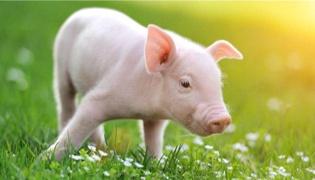 猪得了非洲猪瘟的症状有哪些