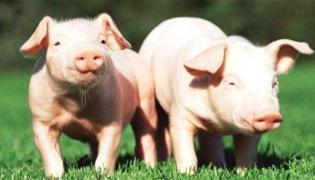 猪拉血便是不是非洲猪瘟