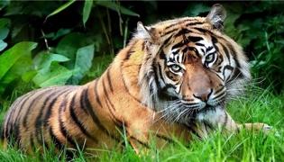 遇到野生老虎怎么逃脱