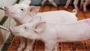 非洲猪瘟先攻击猪场的什么猪