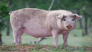 猪得了非洲猪瘟几天死亡