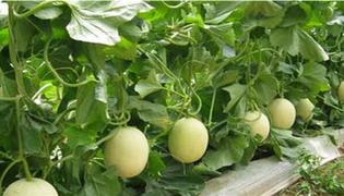 香瓜种植技术与管理法