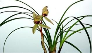 兰花一般可以放在外面淋雨吗