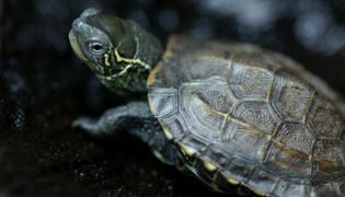 草龟好养吗