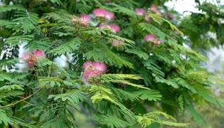 榕树开花吗