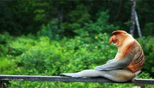 长鼻猴金枪有多长